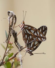 Free Male And Female Mating Butterflies &x28;Gulf Fritillary&x29; Royalty Free Stock Photos - 32029988