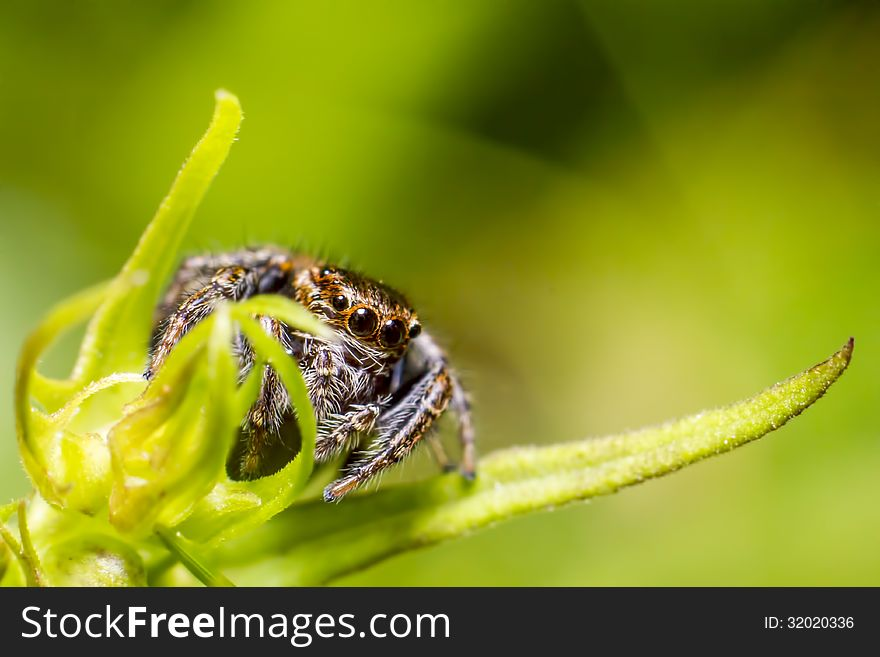 Portrait of a zebra spider