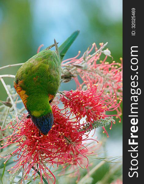 Lorikeet feeding on nectar