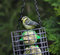 Free Blue Tit On A Garden Feeder Stock Photos - 32022843