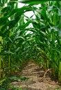 Free Corn Stems Stock Photos - 32030623