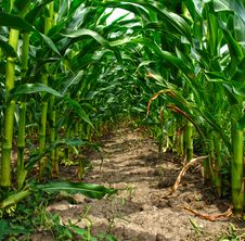 Free Green Tunnel In A Cornfield Royalty Free Stock Image - 32030486