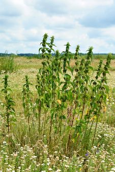 Free Nettles On Waste Ground Royalty Free Stock Photos - 32030528