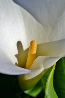 Free White Arum Lily Royalty Free Stock Images - 32030959