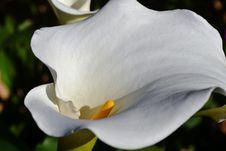 Free White Arum Lily Royalty Free Stock Photo - 32031045