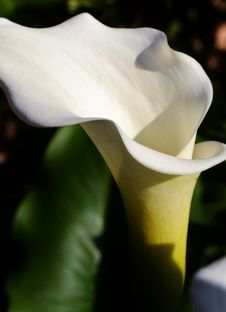 Free White Arum Lily Royalty Free Stock Photography - 32031057