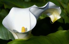 Free White Arum Lily Stock Photography - 32031222