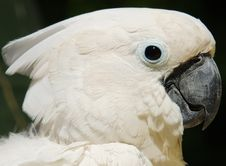 Free White Cockatoo Parrot Stock Image - 32034101