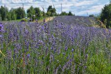 Free Lavender Field-1 Stock Image - 32034841