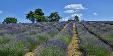 Free Lavender Field-8 Stock Photography - 32035202
