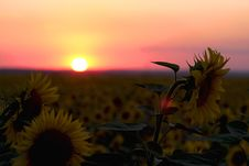 Free Sunflowers Royalty Free Stock Photos - 32036108
