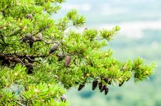 Free Pine Cones On Branches Stock Image - 32036311