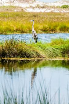 Free Great Blue Heron Stock Image - 32036861