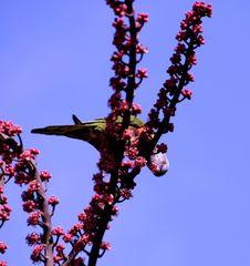 Free Australian Native Bird, Rainbow Lorikeet Rosella Parrot Stock Image - 32041091