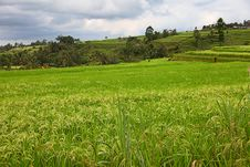 Free Padi Field Royalty Free Stock Images - 32042539