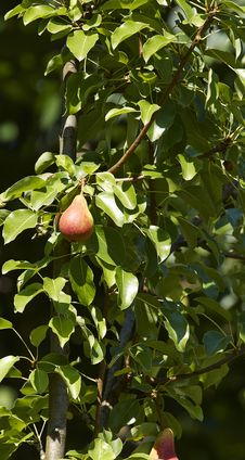 Free Pear Stock Image - 32048951