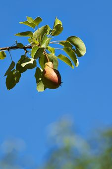 Free Pear Royalty Free Stock Photo - 32048965