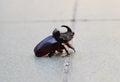 Free Oryctes Nasicornis - Rhinoceros Beetle Stock Photography - 32051012