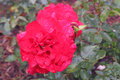 Free A Rose After The Rains Royalty Free Stock Image - 32058876