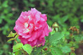 Free A Rose After The Rains Royalty Free Stock Photo - 32058915