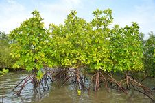 Free Mangrove Plants Stock Photography - 32053422