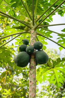 Free Papaya Tree Stock Images - 32054174