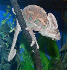Free Animal Chameleon Royalty Free Stock Photography - 32056207