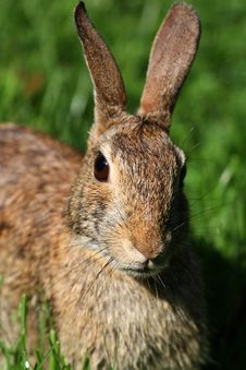 Free Easter Cottontail Close Up Head Shot Stock Photo - 32056240