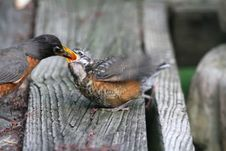 Free Parent Robin Feeding Young Royalty Free Stock Photo - 32056695