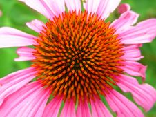 Free Vibrant Purple Cone Flower Top View Stock Image - 32057631