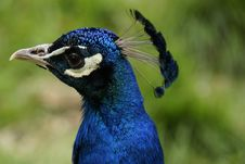 Free Portait Of A Beautiful Peacock Royalty Free Stock Image - 32058936