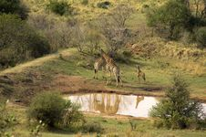 Giraffe Family At A Watering Place Royalty Free Stock Photography