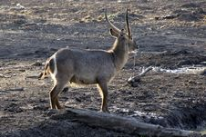 Free Waterbuck After Drinking Stock Photo - 32059660