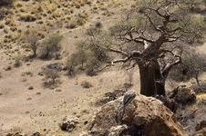 Baobab Tree With Nests