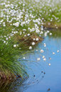 Free Flowering Cotton Grass In The Swamp. Stock Images - 32060964