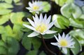 Free White Lotus And Green Leaves Stock Photos - 32066593