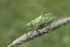 Grasshopper Green &x28;lat. Tettigonia Viridissima&x29;. Stock Photography