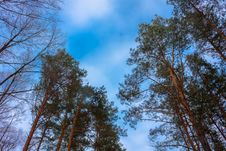 Crone Of Trees Pines On A Sky Abstract Stock Photo
