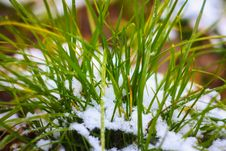 Free Grass Under The Snow Royalty Free Stock Photo - 32061855
