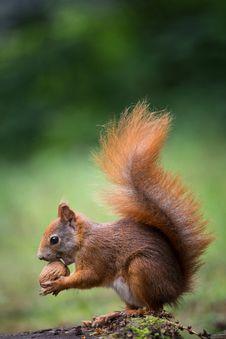 Free Squirrel Royalty Free Stock Photos - 32062948