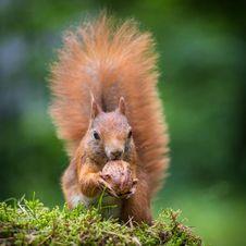 Free Squirrel Stock Images - 32063034