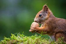 Free Squirrel Royalty Free Stock Photos - 32063088
