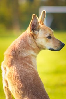 Free Red Dog. Close Up Portrait Royalty Free Stock Image - 32064506