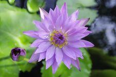 Free Violet Lotus Royalty Free Stock Photo - 32066545