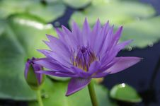 Free Violet Lotus And Green Leaves Royalty Free Stock Image - 32068046