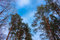 Free Crone Of Trees Pines On A Sky Abstract Stock Photo - 32061710