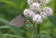 Free Aphantopus Hyperantus - Satyr &x28;Eye&x29; Flower. Royalty Free Stock Image - 32072586