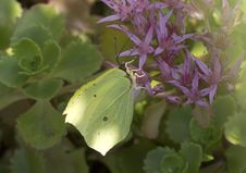 Butterfly Lemon Colored &x28; Gonepteryx Rhamni &x29;. Stock Images