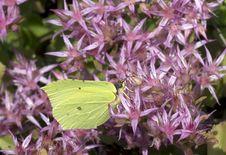Free Butterfly Lemon Colored &x28; Gonepteryx Rhamni &x29;. Stock Photos - 32073283