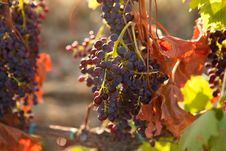 Free Bunches Of Grapes Stock Photo - 32074180